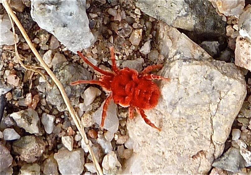 mighty mite -- red velvet mite