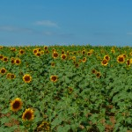 E. Patrick ~ Dazzling sunflowers as far as the eye could see.