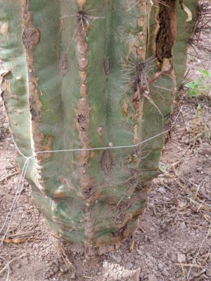 I read that the only way to know if the cactus roots are taking in water in to do a baseline circumference measurement. I cut the string, then measured it: 28.25 inches. Next year, we'll check during monsoon season to see if she's expanded. Click to enlarge.