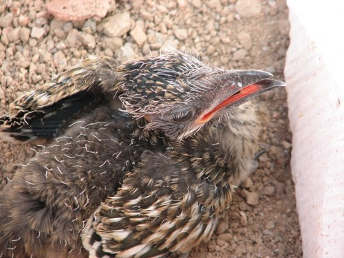 Baby roadrunner, who left Mr. Honey-Do's platform nest a bit too soon. Click to enlarge.