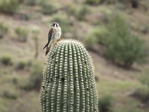 Kessie the kestrel atop a saguaro in the front yard. Click to enlarge.