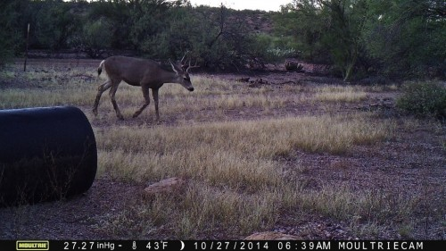 Another shot of Bucky. During this trail cam 'session,' we also captured a bobcat and a rat, plus….