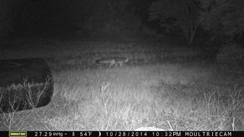 So excited to capture a fox on the trail camera! Click to enlarge.