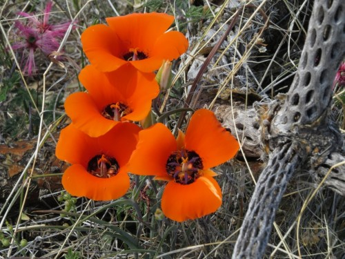 Desert mariposa lily.