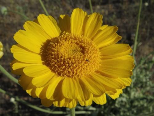 Desert marigold.