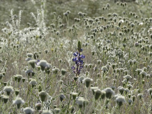 Lone lupine among a sea of pincushions.