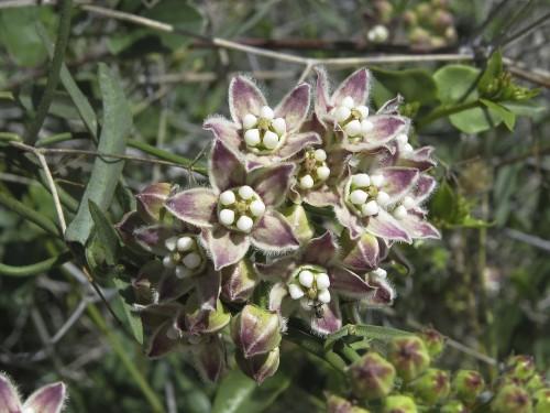Rambling milkweed.