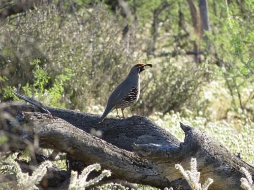 Lone quail amid spring wildflowers.