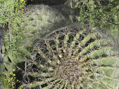 This elaborate spider web hovers over a grouping of barrel cacti much like a feathery dome.