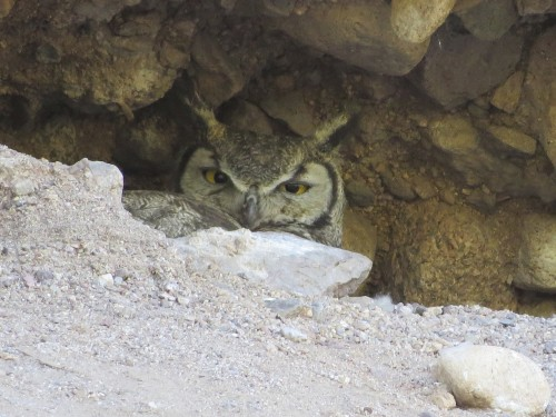Nesting great-horned owl back behind the train trestle.