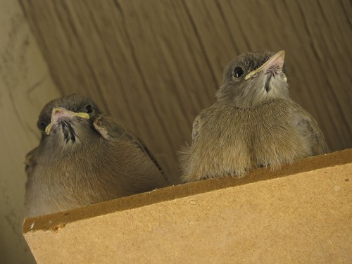And we can't forget about our fledging Say's Phoebe babies.