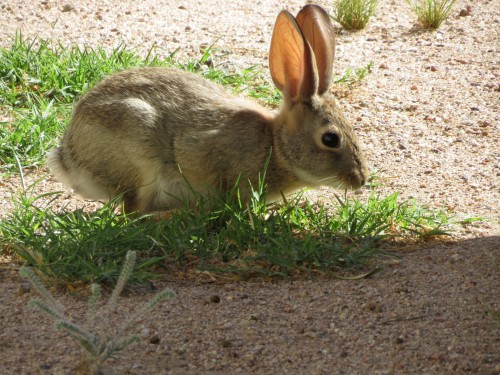 Desert cottontail enjoying spring greens.