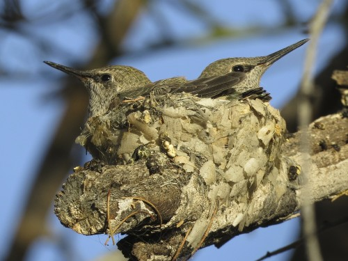 It's almost fledge time for the hummie twins (Brian and Stewie).