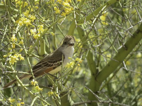 Also fluttering about the ranch: flycatchers (& babies!)