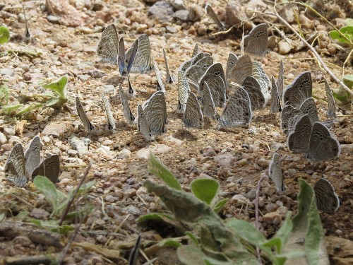 These Reakirt's Blue moths congregated near a garage spigot.
