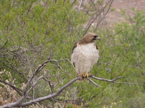 Red-tailed hawk after shaking his tail feathers.