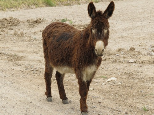 This scraggly, scruffy, fuzzy donkey walked right up to me during a Jeep ride. We call him Scruzzy.