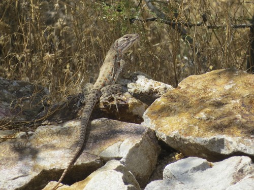 This is one of my favorite Arizona lizards: the long-nosed leopard lizard (behind our house).