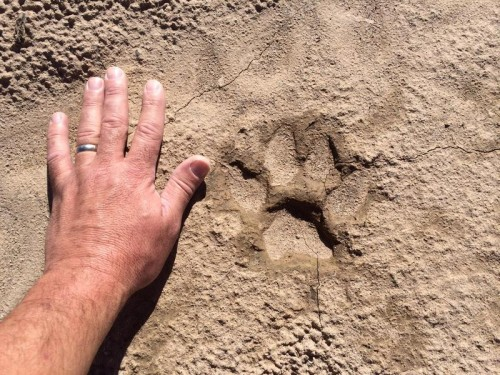 Last year's kitty tracks compared to hubby's giant hand.