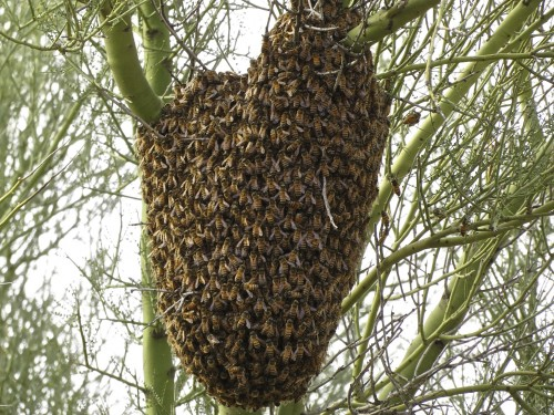 One of four giant swarms of Africanized bees on our property. Yes, awe-inspiring!