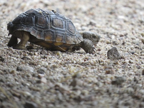 Tiny desert tortoise (half the size of a makeup compact) who visited frequently during our monsoon season.