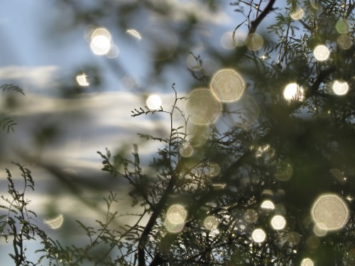 Raindrops on mesquite through the sunrise.