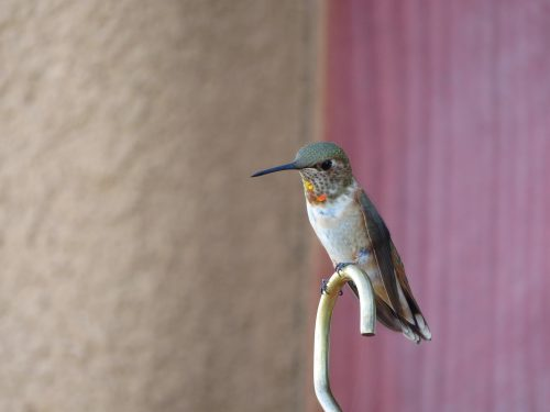 The male Rufous, unlike the female, has an entire head resembling hot embers. She has only this small patch.