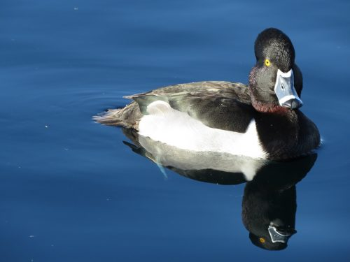 Loved the 'double duck' reflection. These guys were VERY photogenic. Click to enlarge.