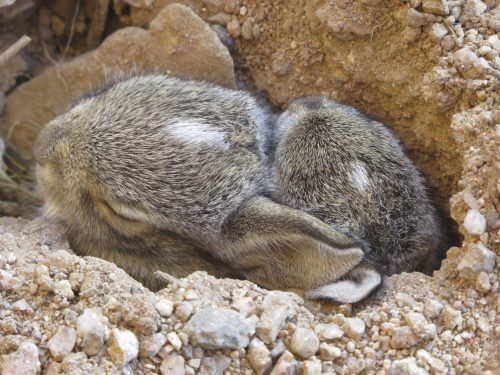 A mother desert cottontail dug her nest (a hole in the dirt) right next to my office porch! There were three little heads poking up!